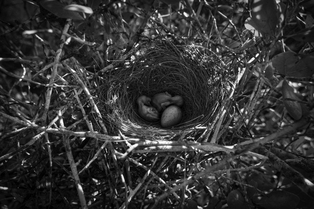 Hatchling Florida Scrub-Jay chicks at Avon Park Air Force Range