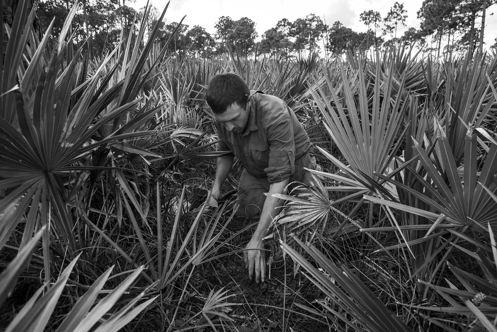 One of Michael's test plants is added to a patch of soil amdst a sea of Saw Palmetto.