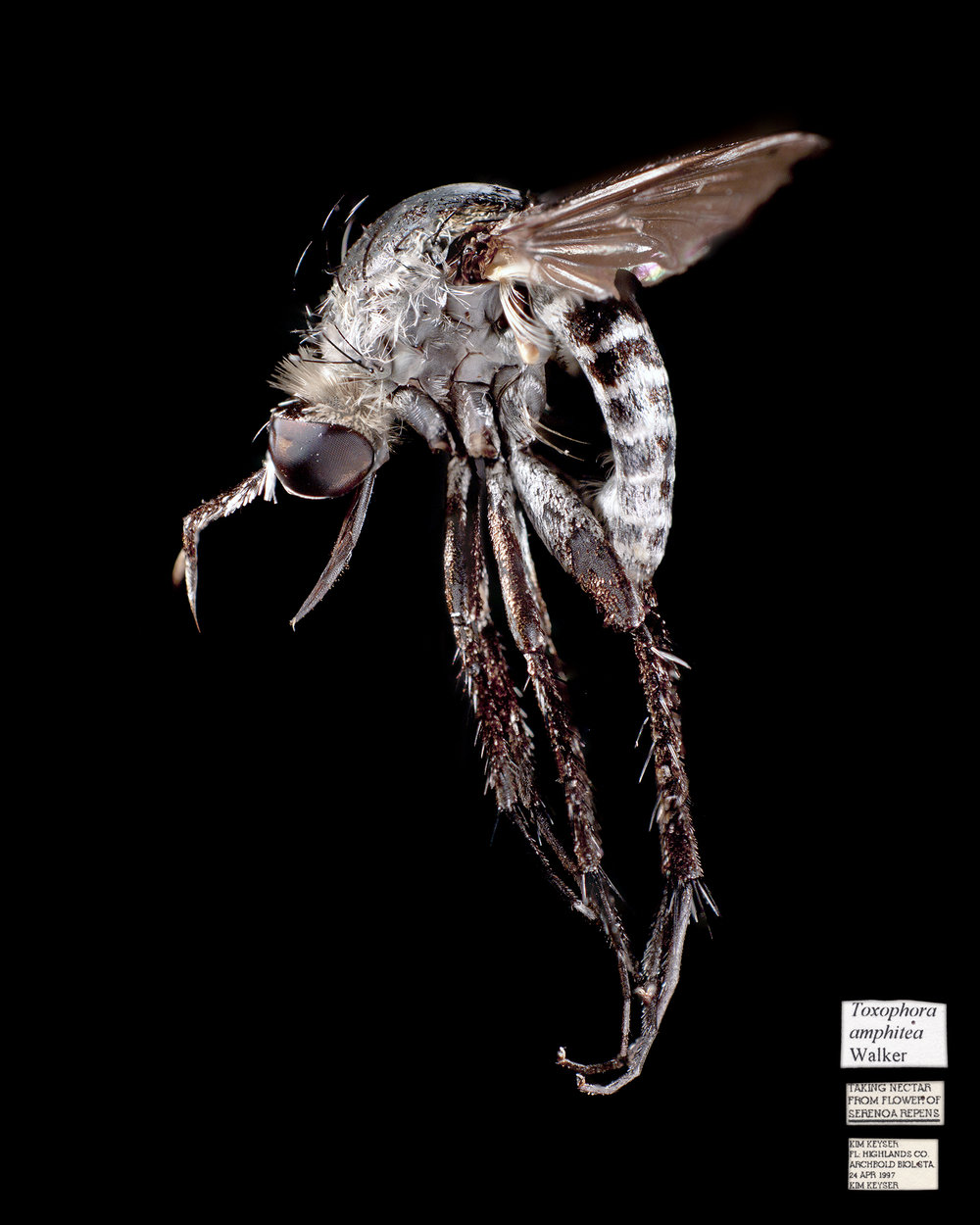 This Hunchback Fly, along with specimens from over 300 other insect species have been collected while visiting Saw Palmetto flowers at Archbold Biological Station.
