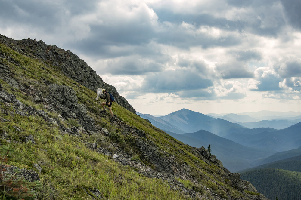 Undergraduate researcher Sean Bishop treks through a steep alpine meadow during survey work for rare butterflies on Jumpingpound Mountain in Alberta, Canada. The mountain is named for a nearby site once used as a buffalo jump by the Blackfoot First Nations.