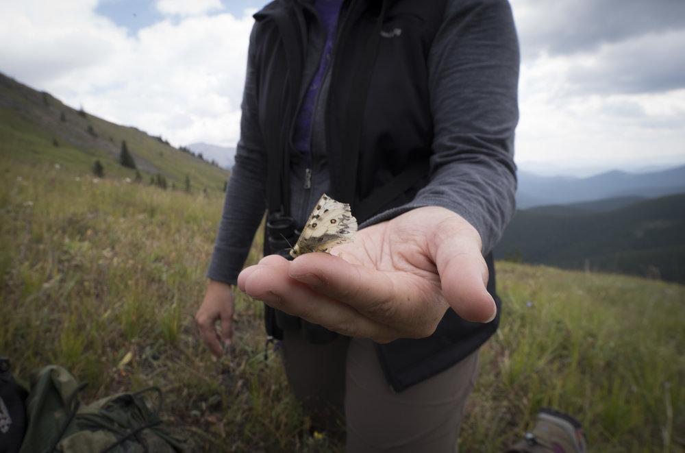 Rocky Mountain Apollo Butterfly