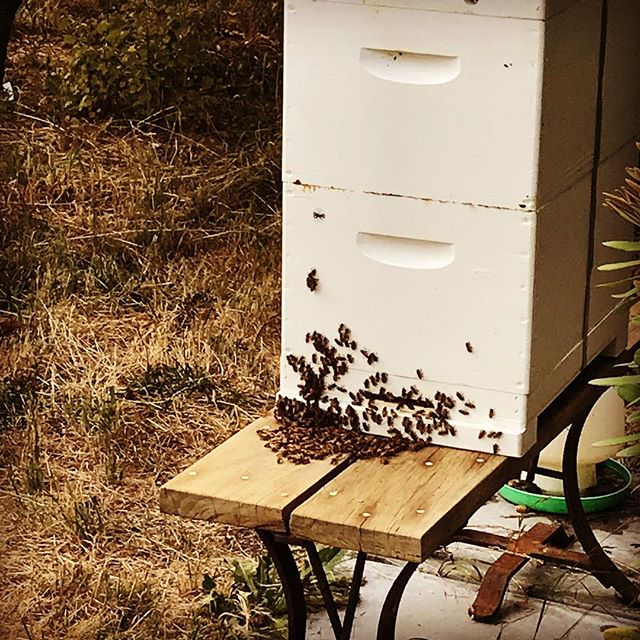 Bearding bees - with all the hot weather we've had this week the bees have assembled on the outside of the hive during the heat.  By hanging around on the outside instead of the inside, they decrease the heat load, decrease congestion, and increase the ventilation space.