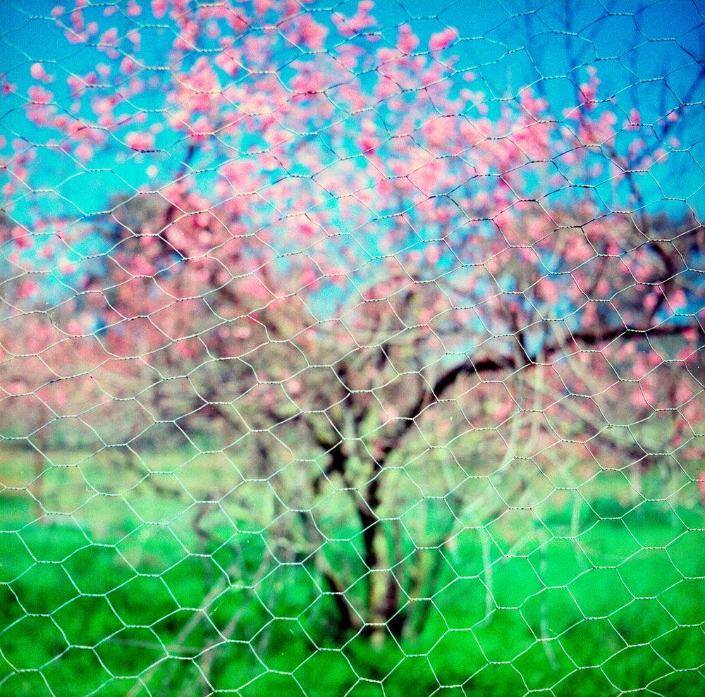 Orchard,-c.2000.jpg
