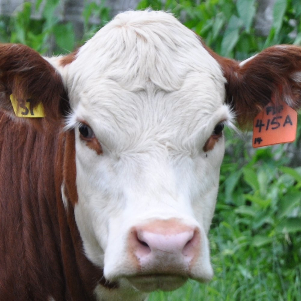 MARMALADE - (2013-15): Goofy acrobatic heifer. Departed with a strange willingness. Beefy.