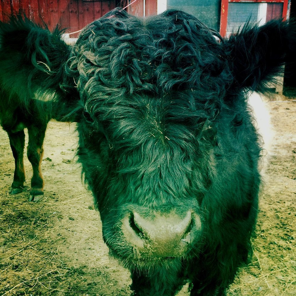 TIDBIT - (2014-16): Our Galloway bull. Puny but virile. Sang high tenor. Often sweet; occasionally wild and dangerous. We miss him.
