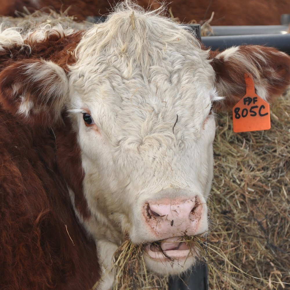 HOT WAX - (2015-17): Hereford steer. Had no personality whatsoever, but great intramuscular fat.