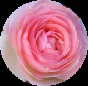 Rose 300x280.png