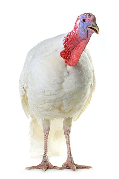 young turkey-w.jpg