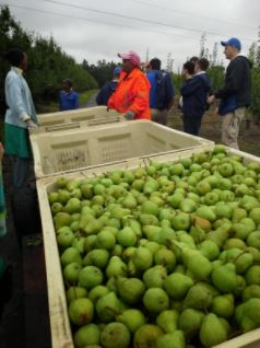 Pear harvest is Western Cape.