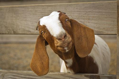 boer goat-w.jpg