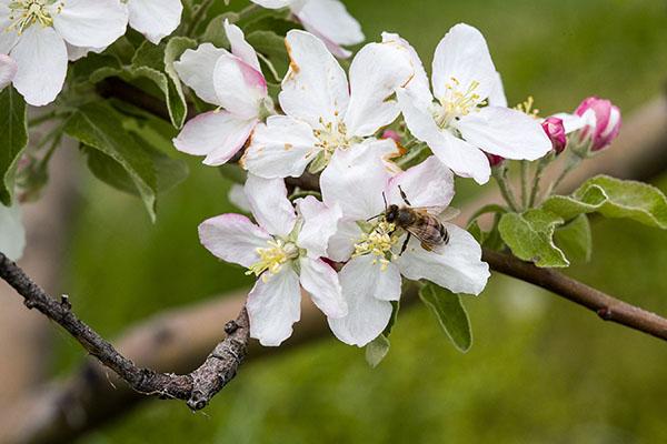 bee apple blossom.jpg