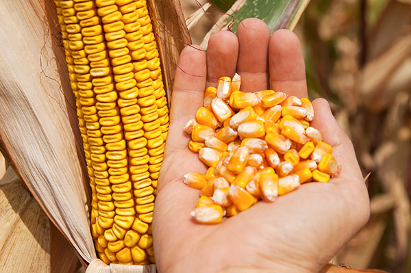 corn cob and grain in hand.jpg