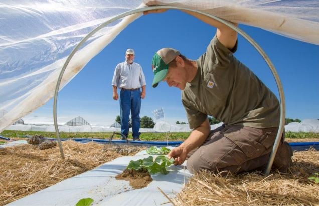 Ric Bessin looks on, as Mark Williams examines cucurbit leaves under a low tunnel at the UK Horticulture Research Farm. Photo by Matt Barton