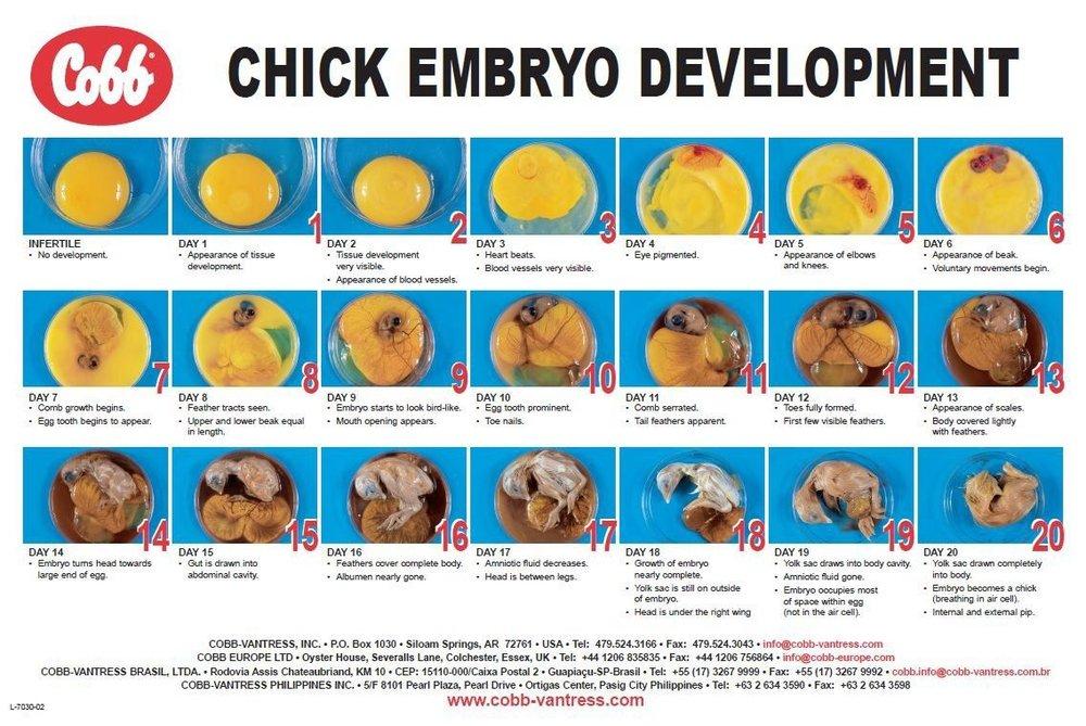 chick embryo.jpg