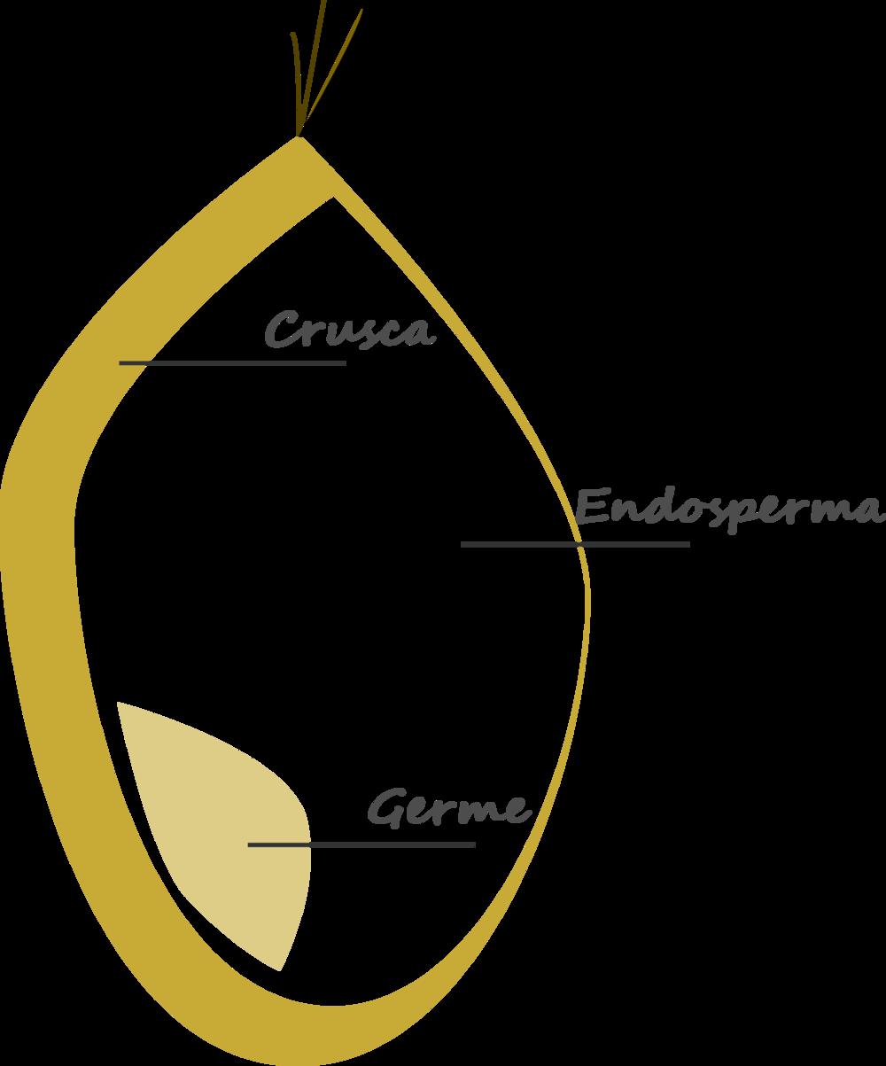 Rappresentazione grafica della sezione di un seme di frumento