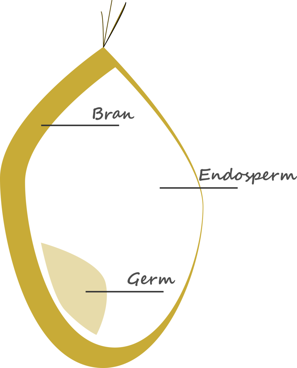 Graphical representation of the section of a wheat seed