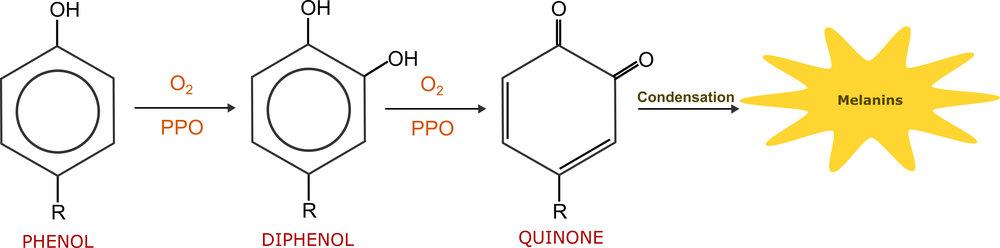 polifenol ossidasi