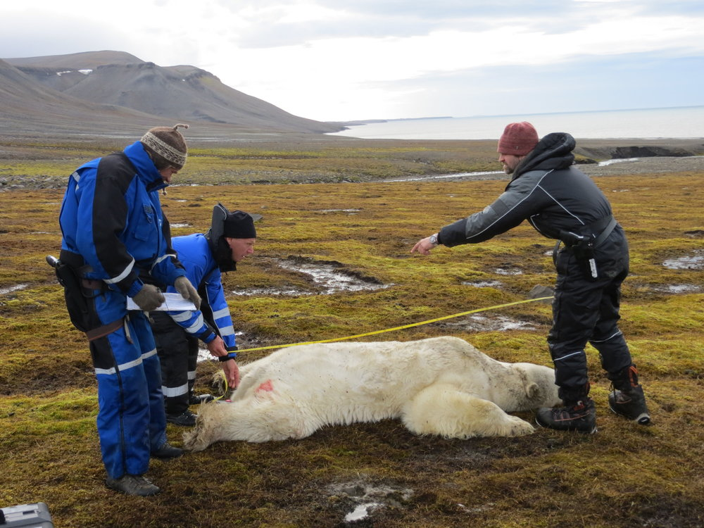 We took samples from female polar bears during two contrasting seasons: spring, when sea ice is at its maximum extent, and autumn, when most sea ice has melted. Photos: Magnus Andersen and Heli Routti / Norwegian Polar Institute