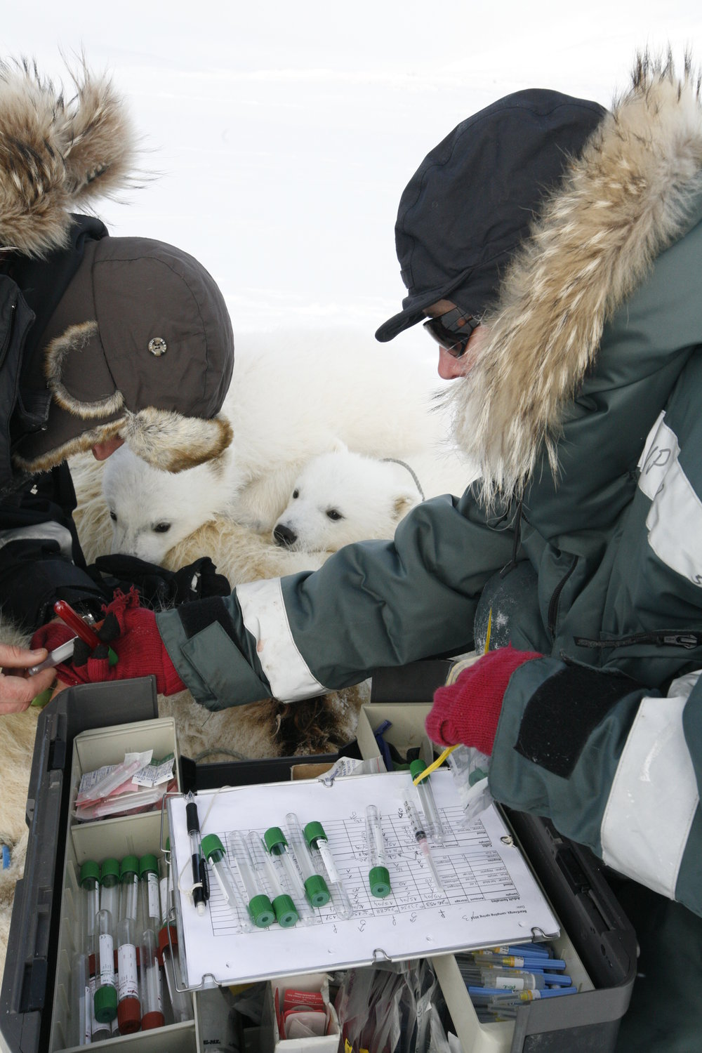 Fat and blood samples are used to study pollutants and their health effects in polar bears. Photos: Heli Routti and Magnus Andersen / Norwegian Polar Institute