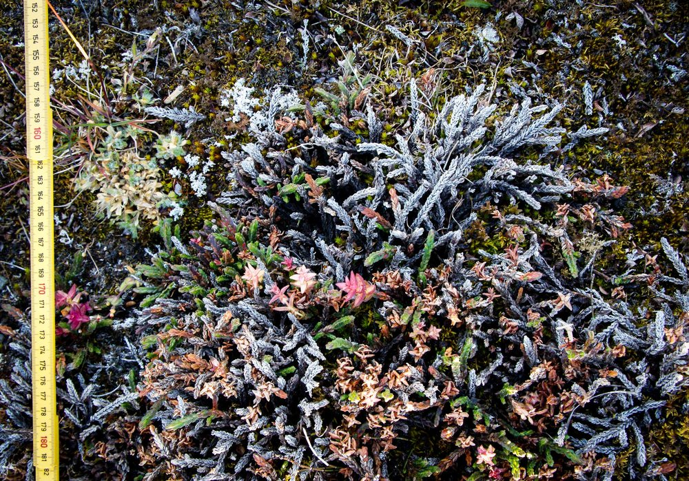 White arctic bell-heather with mostly dead shoots (grey and brown), some healthy shoots (green), and a shoots infested by a fungus (red). JONAA©Jarle W. Bjerke