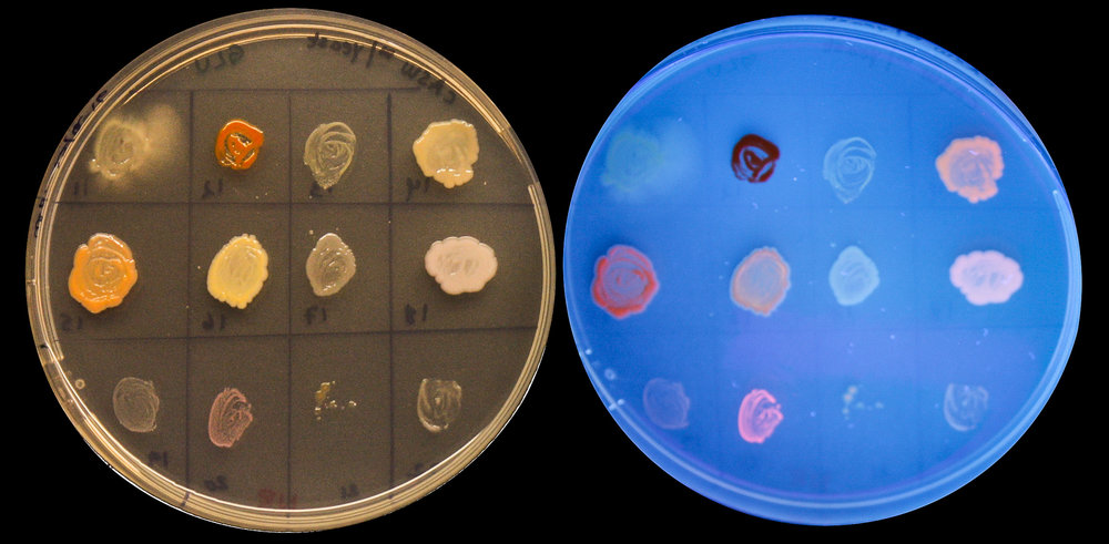 Approximately 300 bacteria have been screened for their plastic-producing capabilities. One of the methods used is to grow the bacteria in a culture medium with dye added. Bacterial strains that glow pink under UV light (right plate) are probably plastic producers. JONAA©UiT The Arctic University of Norway