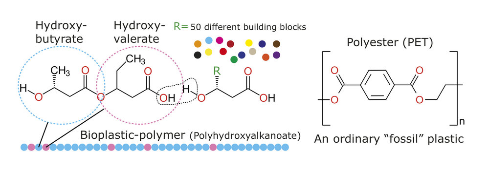 """Biodegradable polyhydroxyalkanoate (left) and conventional polyester (right) are similar in structure. The """"R"""" group in the PHA molecule represents a wide range of chemical substituents that can give the polymer different characteristics. Ordinary plastic is highly resistant to breakdown by microorganisms."""