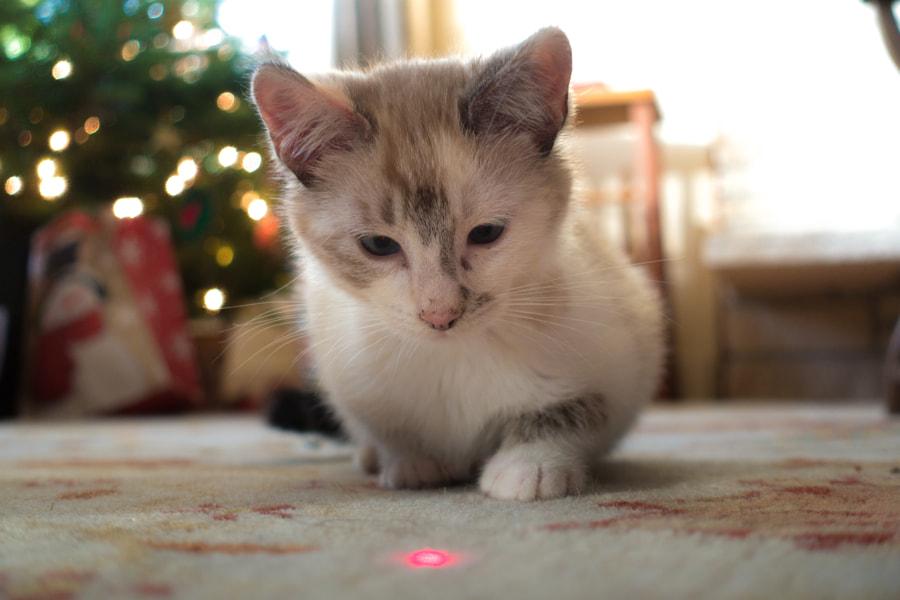 Laser-Guided Kitten