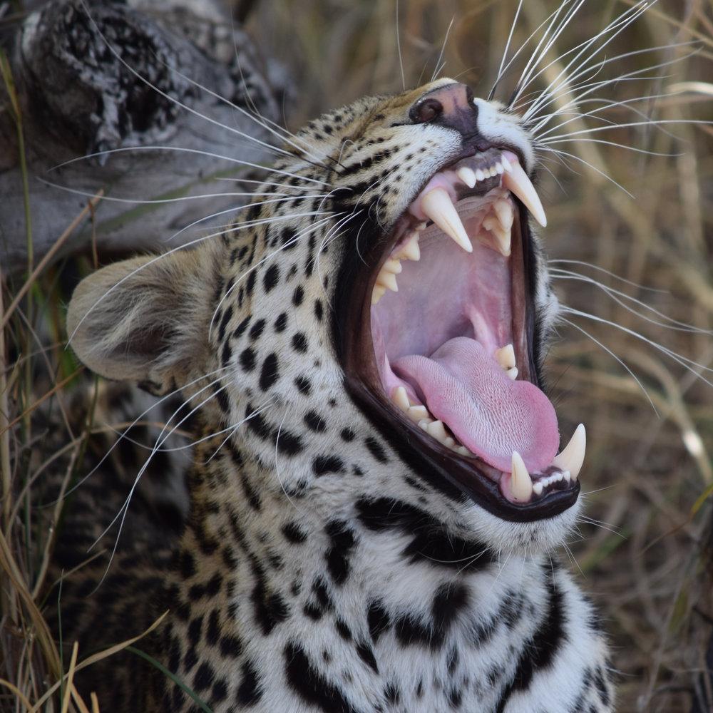 Unleashed & Uncensored - Leopard Image.jpg