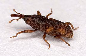 Insectes Denrée Alimentaire (IDA) - Nous avons récemment procédé à un certain nombre de travaux de lutte antiparasitaire concernant les insectes de denrée alimentaire et j'ai pensé qu'il serait utile d'expliquer ce que sont les insectes qui s'attaquent aux denrée, comment nous les contrôlons et les conseils pour prévenir l'infestation.L'insecte de denrée alimentaire (IDA) est un terme générique pour tout insecte ou acarien qui infeste nos produits alimentaire tels que les céréales, la farine, les noix, les fruits secs, les aliments pour chiens, les poissons, etc. La grande majorité des IDA sont des espèces de coléoptères, de charançons et les papillons qui profitent de nos produits alimentaires stockés. Ils causent des problèmes dans les cuisines, les garde-boues, les entrepôts, les boulangeries et les sites de production alimentaire, en fait, partout où les aliments séchés sont transformés ou stockés.Nous avons récemment traité une propriété domestique pour une infestation de charançons. Ce sont de petits coléoptères marron d'environ 2-3 mm de long et de forme ovale. Comme avec tous les coléoptères, ils ont un cycle de vie complet, où il existe un œuf , une larve, une pupe et un stade adulte. Ils infesteront la plupart des produits à base de céréales et, dans ce cas, ont pris un goût pour un paquet de riz qui avait été ouvert pendant un certain temps et laissé à l'arrière d'un placard de cuisine. Les charançons du riz ont décidé de s'installer dans la maison, ce qui a entraîné l'infestation de la plupart des armoires de cuisine par des centaines de coléoptères. Le riz étaient parsemées de trous minuscules, où les adultes émergeaient. Toutes les céréales et les aliments stockés qui n'étaient pas dans des contenants scellés ont du être éliminés, toutes les armoires de cuisine devaient être vérifiées et nettoyées à fond pour éliminer tous les résidus alimentaires. Un traitement insecticide a alors dut être entrepris pour éradiquer toutes les étapes du cycle de vie.Com