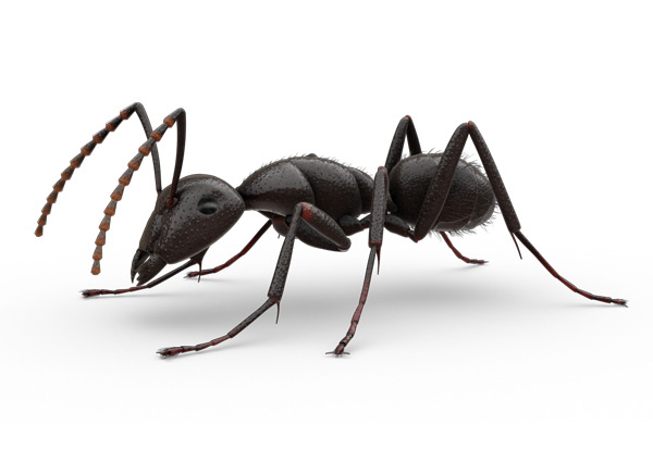 Infos Pratiques - La fourmi charpentière rouge et la fourmi noire gâte-bois comptent parmi les espèces de fourmis charpentières les plus communes au Canada. Le corps de la fourmi charpentière rouge est noirâtre avec un thorax aux teintes de rouge ou de brun. La fourmi noire gâte-bois est, quant à elle, uniformément noire avec des teintes de brun.La fourmi charpentière mesure entre 6 et 25 mm de longueur (0,24 à 1 pouce). Son corps est divisé en trois parties, dont l'une s'étrangle en une taille très fine. Ses antennes sont arquées et segmentées. Les adultes mâles et femelles sont ailés au moment de l'accouplement.es fourmis charpentières construisent leur nid dans le bois. Elles creusent des galeries beaucoup plus longues que celles des termites. Les fourmis charpentières ne mangent pas le bois; elles le rejettent à l'extérieur de leurs galeries sous forme de fins copeaux qui ressemblent à de la sciure de bois.Les fourmis charpentières forment de grandes colonies composées de centaines d'ouvrières (femelles stériles), de plusieurs mâles et femelles reproducteurs et d'une ou de plusieurs reines. Il arrive que des individus d'une colonie établie migrent vers une structure avoisinante, y fondant ainsi une colonie satellite de plus petite taille. Selon certains spécialistes, ce phénomène expliquerait la raison pour laquelle les fourmis charpentières envahissent les habitations.
