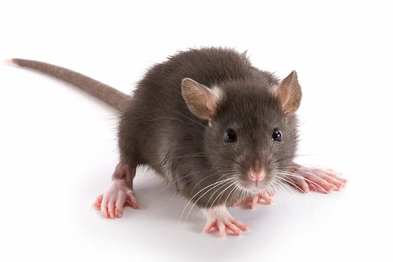 - Description du Rat NorvégienCes «super-rats» peuvent atteindre 16