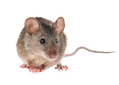 - Description de la Souris DomestiqueUne excellente audition, vision, odeur et toucher ont permis à la souris d'être très adaptable aux maisons et aux bâtiments intérieurs. Tout ce dont ils ont besoin est une ouverture de 1/4