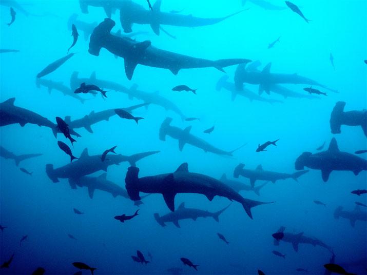 Tiburon martillo isla coco.jpg