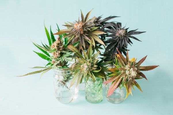 Stocksy-Cannabis-Flowers-Cameron-Zegers-601x400.jpg