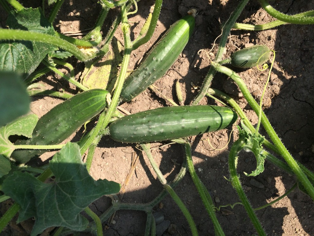 These cukes will be ready in no time!