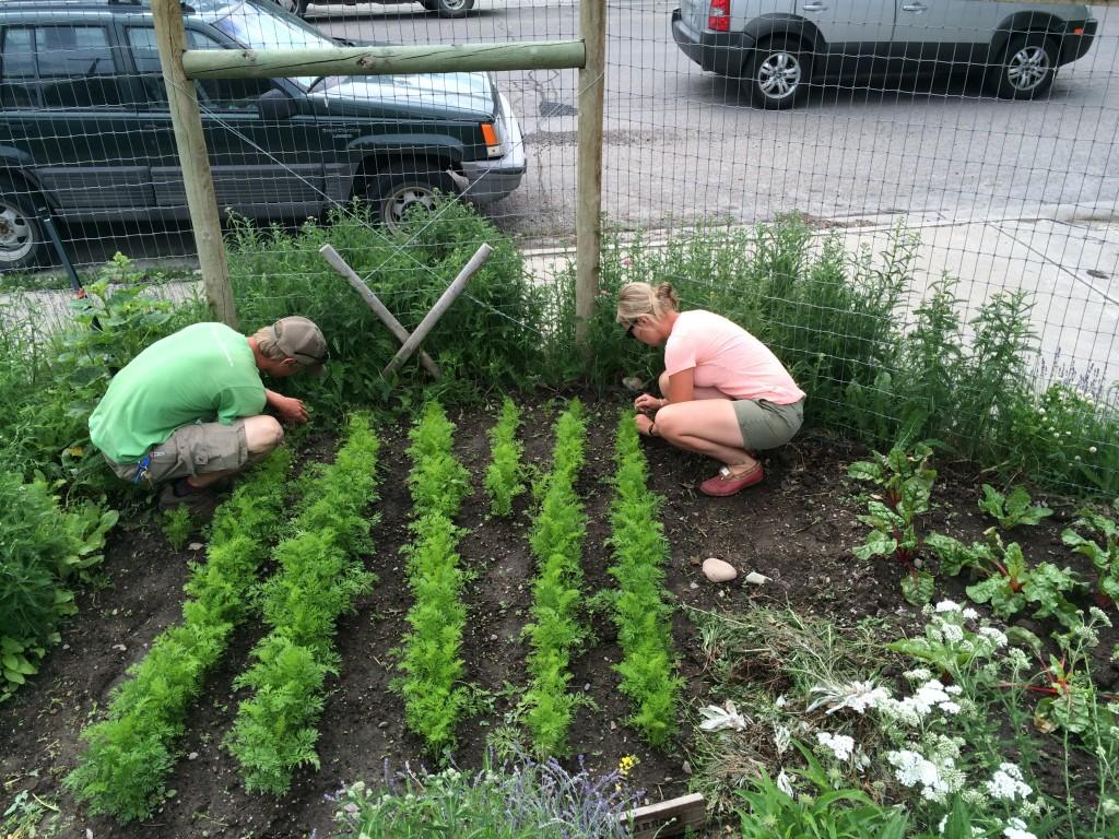 Community Gardens Staff thinning carrots