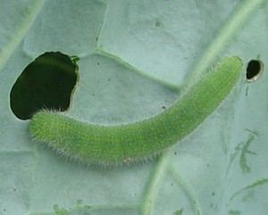 Cabbage Worm. (photo: www.almanac.com)