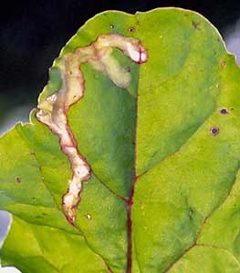 Leaf Miner Damage. (photo:  www.garden.org)