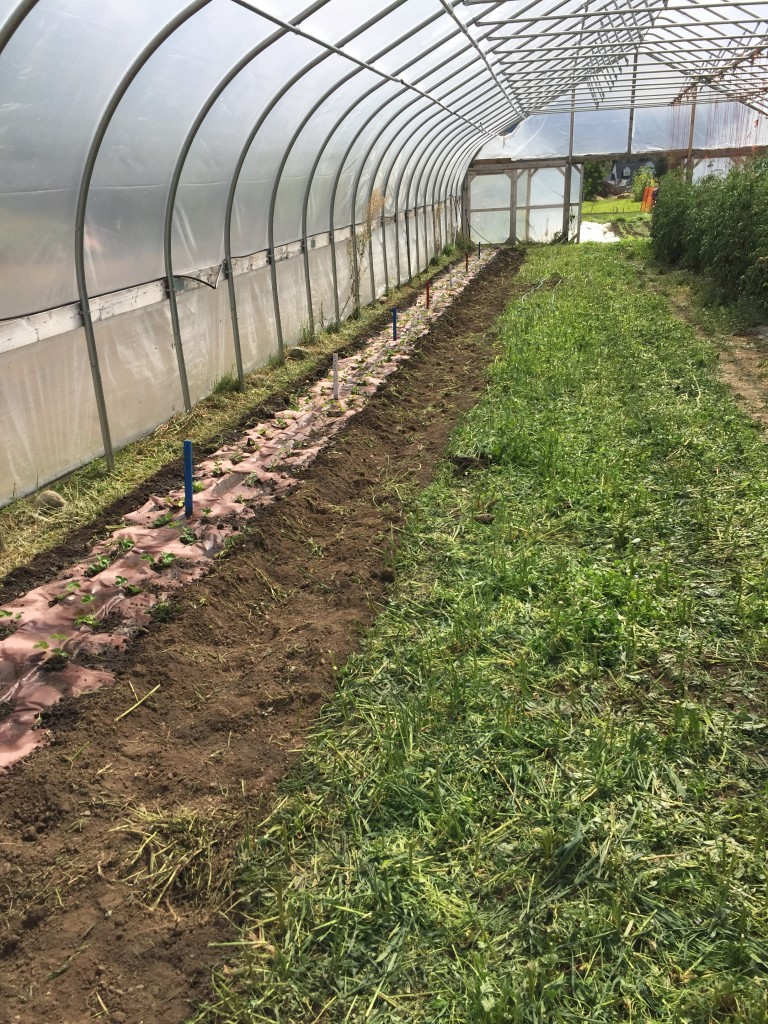 Fall high tunnel planting at the PEAS Farm.