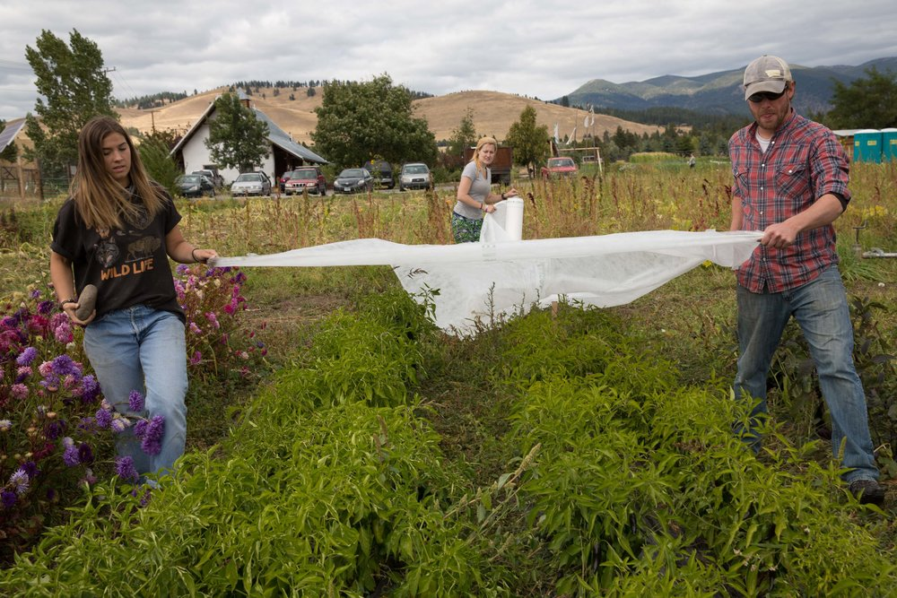Students at the PEAS Farm lay commercial row cover over the pepper plants. You can do this too in your garden to protect tender plants from a frost!