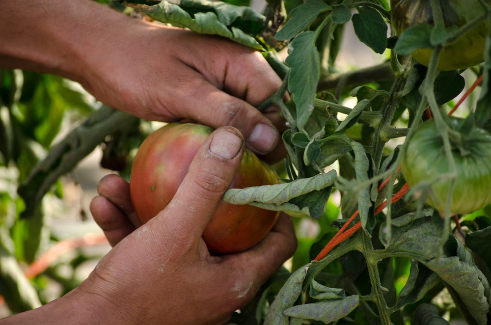 Pick your tomatoes a little early if you're worried about a frost or freeze. Most will ripen at home stored in a brown paper bag.