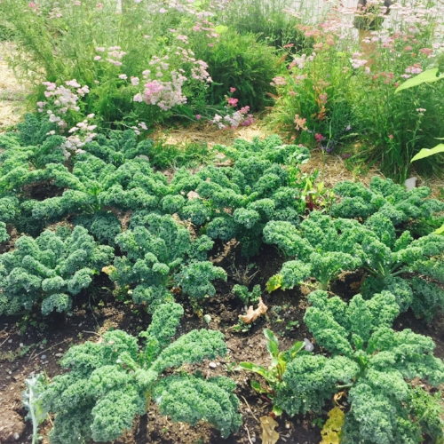 The perennial flower yarrow and late season crops like kale can stay in your plot after Closing Day as long as it is tidy.