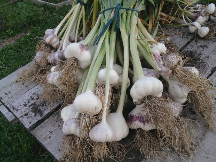 Choose the garlic you want to plant based on the cloves that have the most desirable size and shape to you.