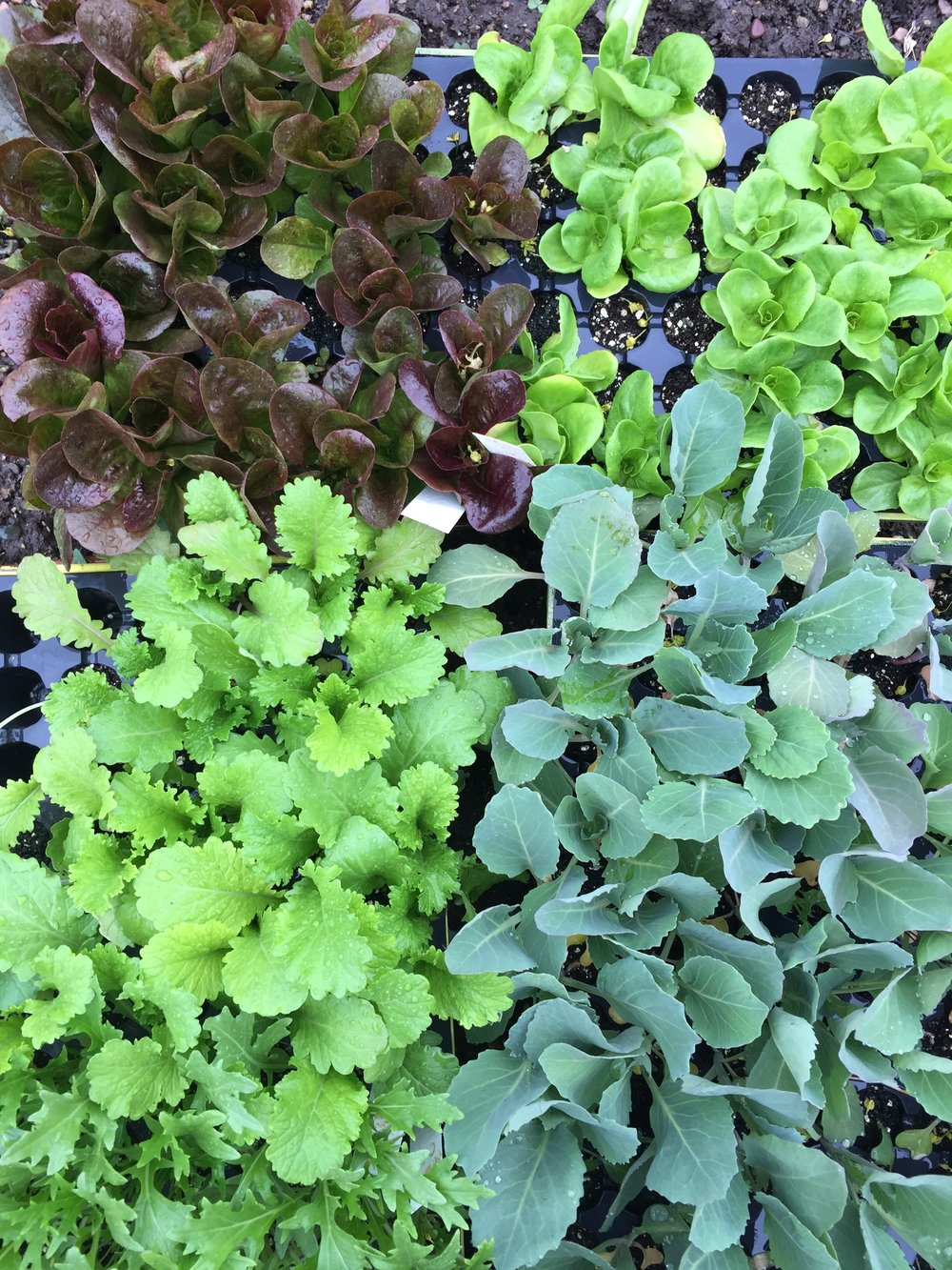 Clockwise from upper left: Red leaf lettuce, green leaf lettuce, broccoli, and spicy mustard greens.