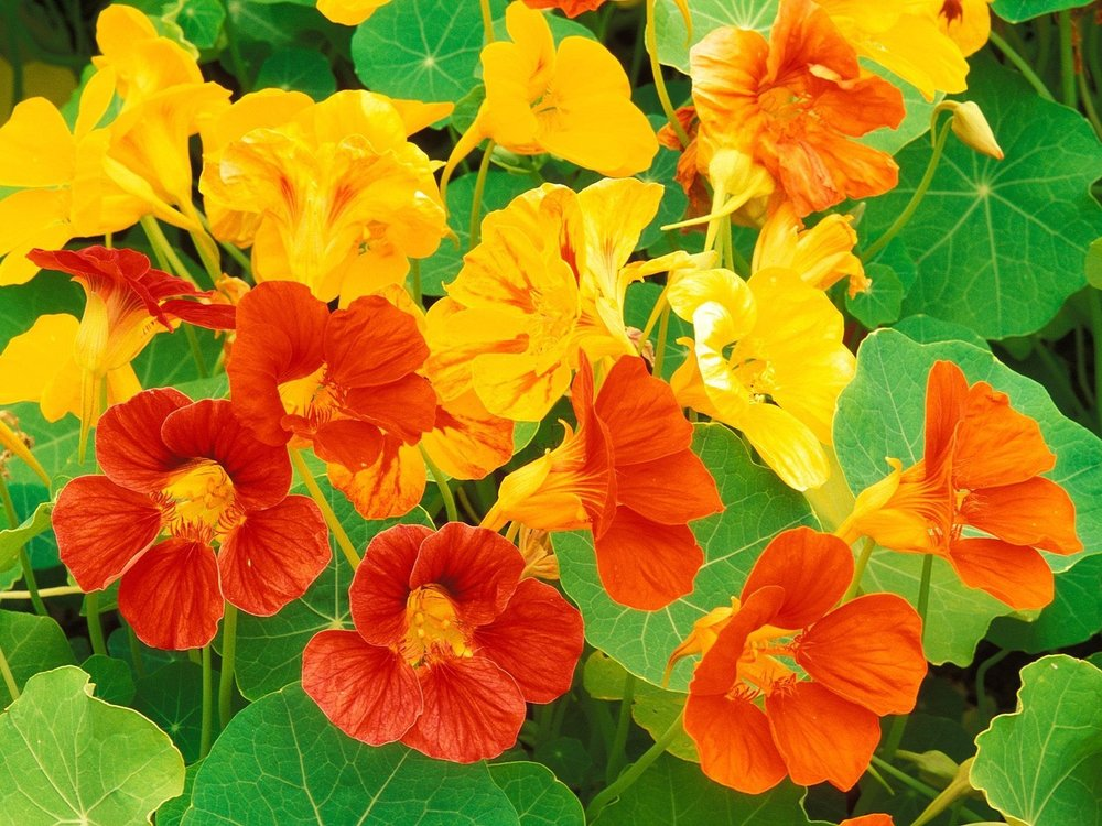 Nasturtiums are good companion plants for tomatoes.
