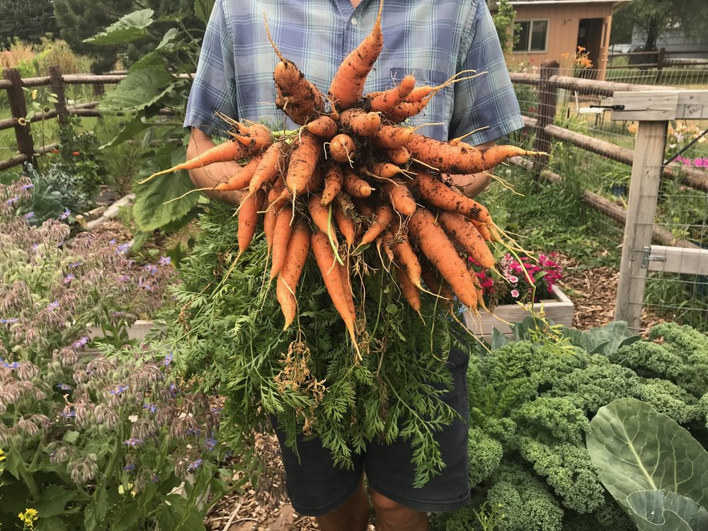 Last weekend, I harvested the rest of my carrots that I planted this spring to make room for another succession.