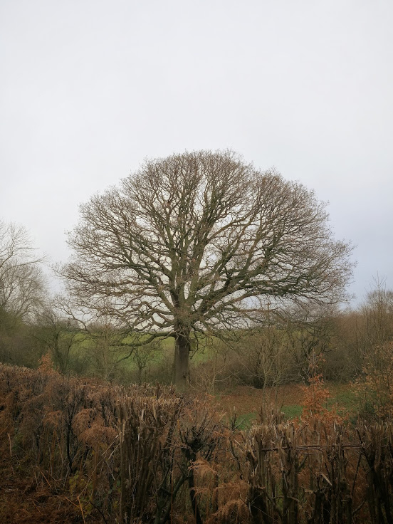 'My' oak, now almost entirely bare of leaves, but looking wonderful to me at least.