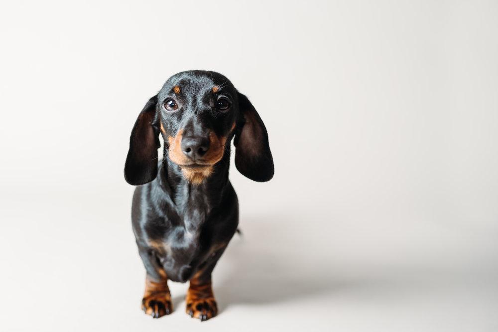 Mini dachshund - pet portrait