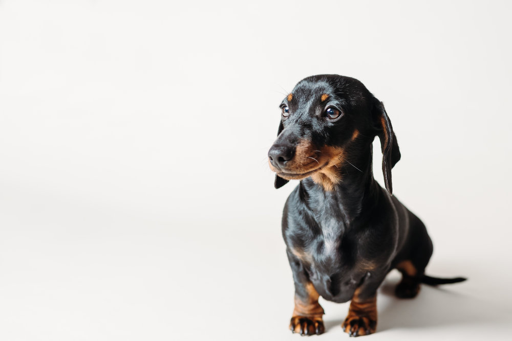 Black and tan mini dachshund - lancashire