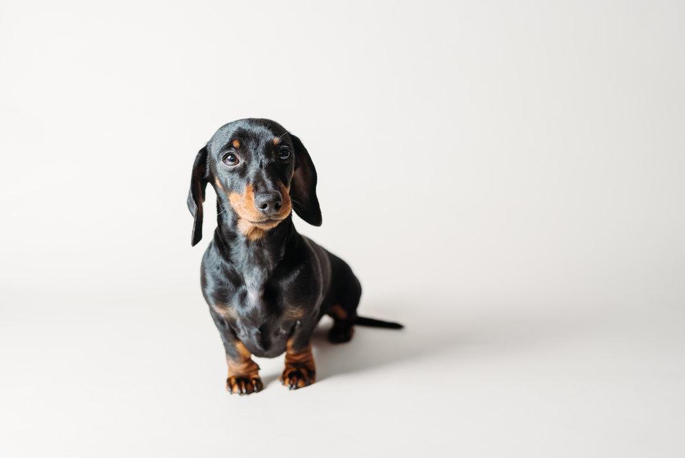 Lancashire pet photographer - mini dachshund
